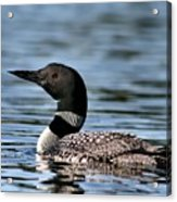 Loon In Blue Waters Acrylic Print