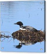 Loon On Nest Acrylic Print