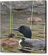 Loon Time Acrylic Print by Peter Gray