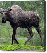 Loose Moose Acrylic Print