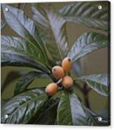 Loquat Fruit Acrylic Print
