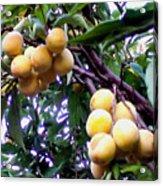 Loquats In The Tree 1 Acrylic Print