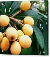 Loquats In The Tree 3 Acrylic Print