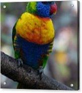 Lorikeet Parrot  Acrylic Print