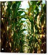 Lost In Corn Acrylic Print