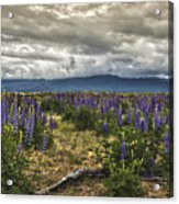 Lost In The Lupine Acrylic Print