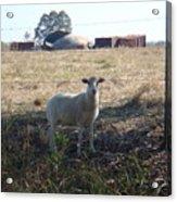 Lost Lamb Acrylic Print