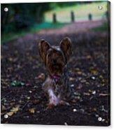 Lost Puppy Acrylic Print