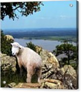 Lost Sheep Acrylic Print