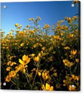 Lots Of Buttercups Against A Blue Sky Acrylic Print