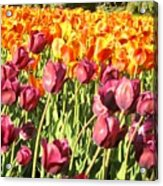 Lots Of Tulips Acrylic Print