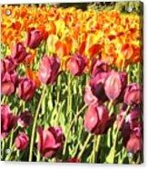 Lots Of Tulips Acrylic Print