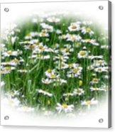 Lotsa Daisies Acrylic Print