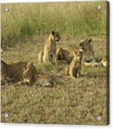 Lotsa Lions Acrylic Print