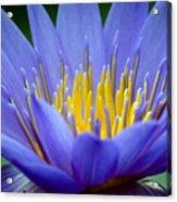 Lotus 6 Acrylic Print
