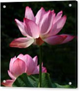 Lotus Beauties--upstaged Dl048 Acrylic Print by Gerry Gantt