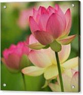 Lotus Blossom Acrylic Print