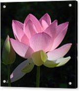 Lotus Bud--snuggle Bud Dl005 Acrylic Print by Gerry Gantt