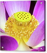 Lotus Central Detailed Acrylic Print