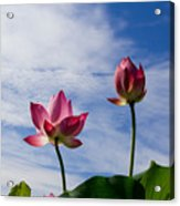 Lotus Flower And Lotus Flower Plants Acrylic Print