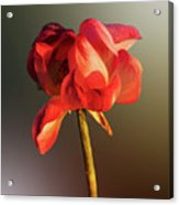Lotus Flower Golden Glow Acrylic Print