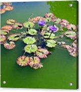 Lotus Flowers #4 Acrylic Print