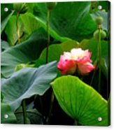 Lotus Forms Acrylic Print