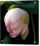 Lotus In The Evening  Acrylic Print