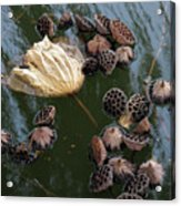 Lotus In The Lake Acrylic Print