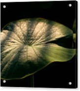 Lotus Leaves Morning  Shower Acrylic Print