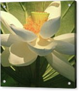 Lotus Light Acrylic Print