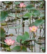 Lotus Pond-1 Acrylic Print