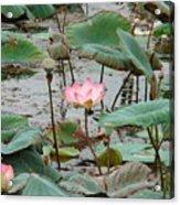 Lotus Pond -2 Acrylic Print