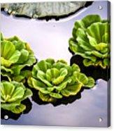 Lotus Pond Acrylic Print