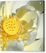 Lotus Up Close Acrylic Print