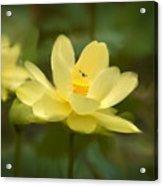 Lotus With Bee Acrylic Print