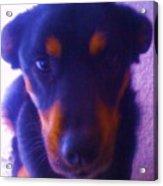 Lou-dog Acrylic Print
