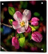 Louisa Apple Blossom 001 Acrylic Print