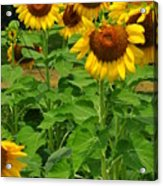 Louisa, Va. Sunflowers 3 Acrylic Print