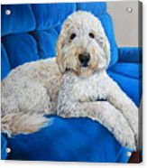Lounging Goldendoodle  Acrylic Print