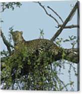 Lounging Leopard Acrylic Print