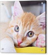 Lovable Cat Acrylic Print