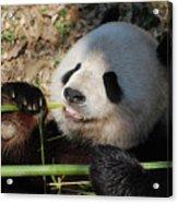 Lovable Giant Panda Bear With Big Paws Acrylic Print