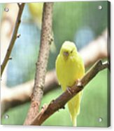Lovable Little Budgie Parakeet Living In Nature Acrylic Print