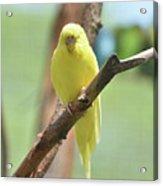 Lovable Yellow Budgie Parakeet Bird Up Close Acrylic Print