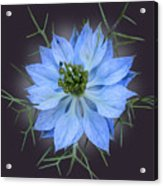 Love In A Mist Black With Light Acrylic Print