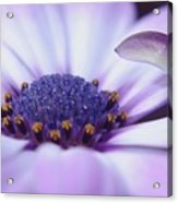 Love Is A Flare In Your Petal  Acrylic Print