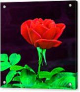 Love Is A Rose Acrylic Print