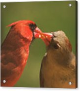 Love Is In The Air Cardinals Square Acrylic Print