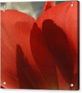 Love Of A Tulip Acrylic Print